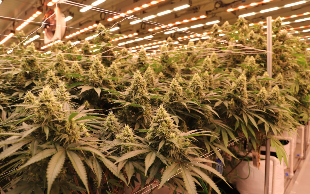 Ben Bourque in MJ Biz Daily | How Cannabis Extraction Companies Can Reduce Energy Costs